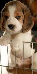Beagle Disponibles
