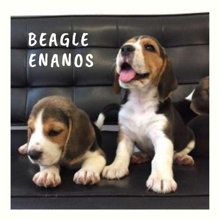 Disponibilidad Cachorros <strong>beagle</strong> Enanos