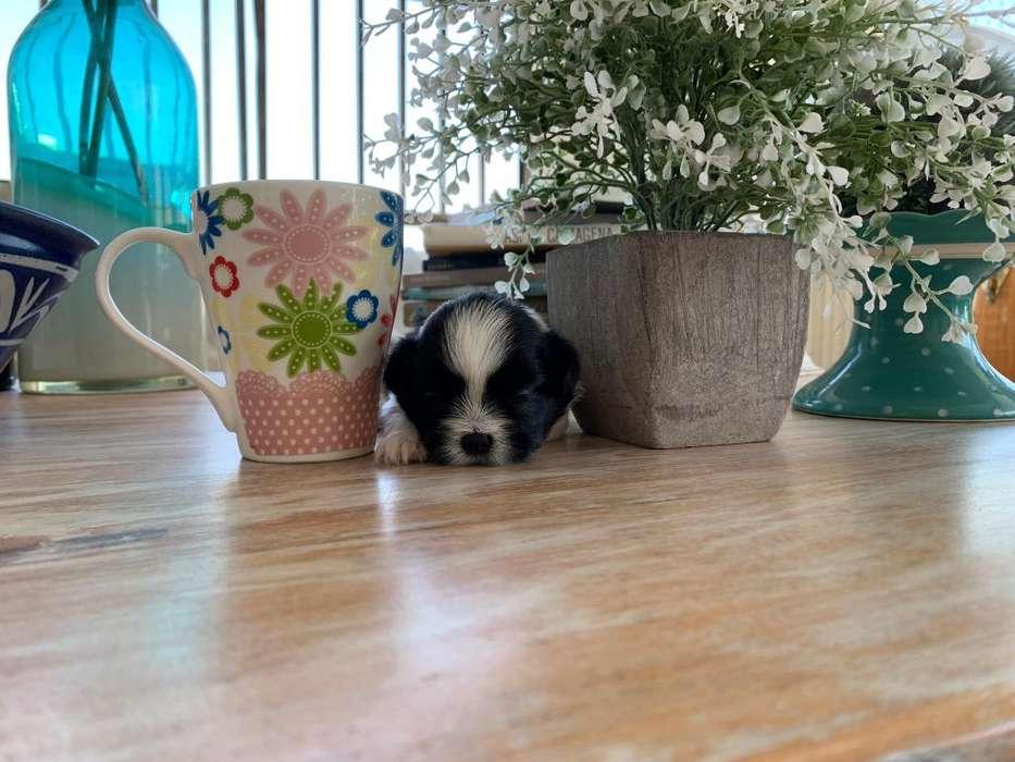 Cachorros Shih Tzu mini