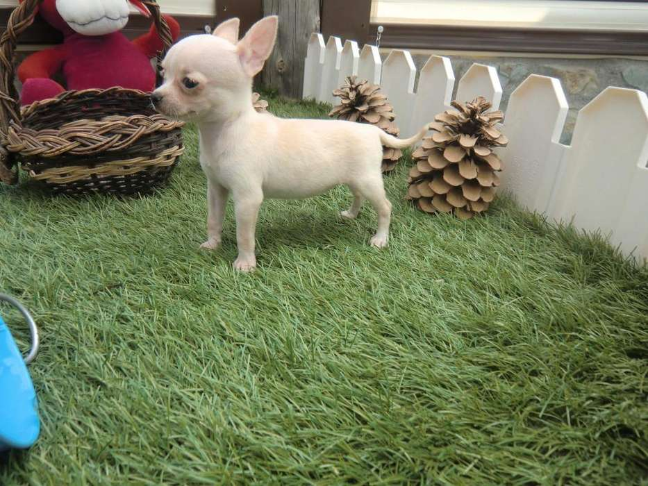 *PET SHOP VENDE <strong>chihuahua</strong>S *