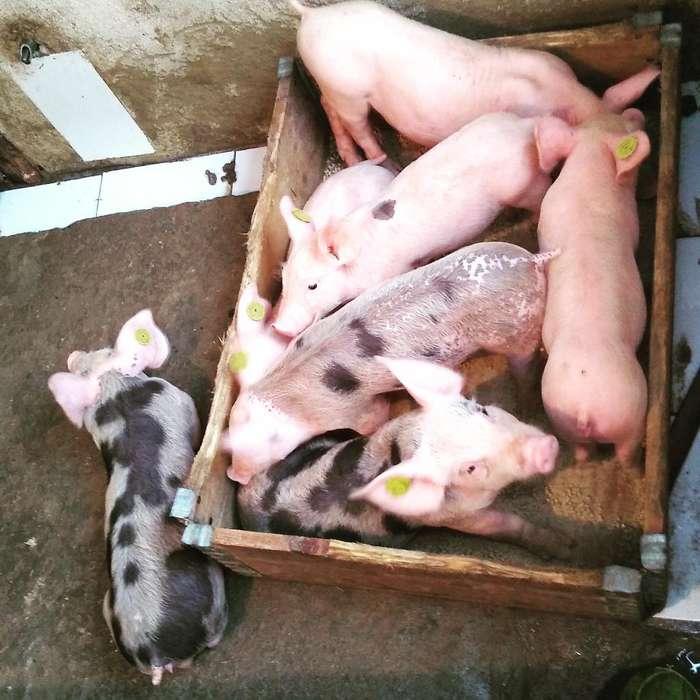 Venta de Cerdos Pietran de 40 Dias