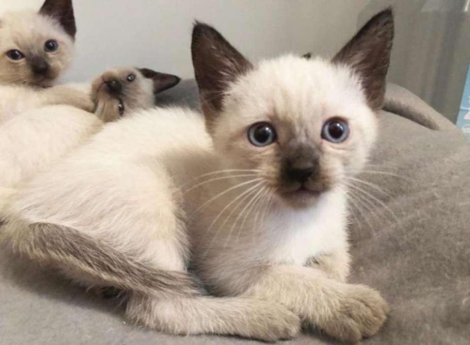<strong>gatito</strong>s Siameses Espectaculares