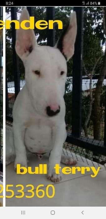 Vendo Hermoso Cachorro Bull Terrier Puro