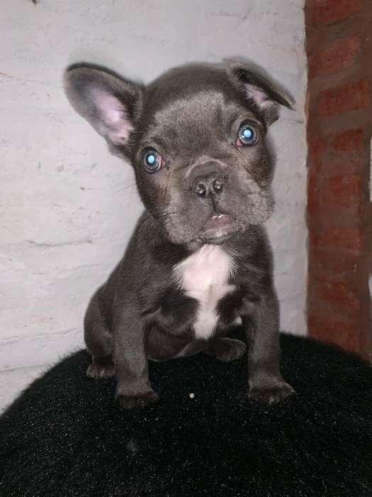 Bulldog Frances Blue Exotico Mini