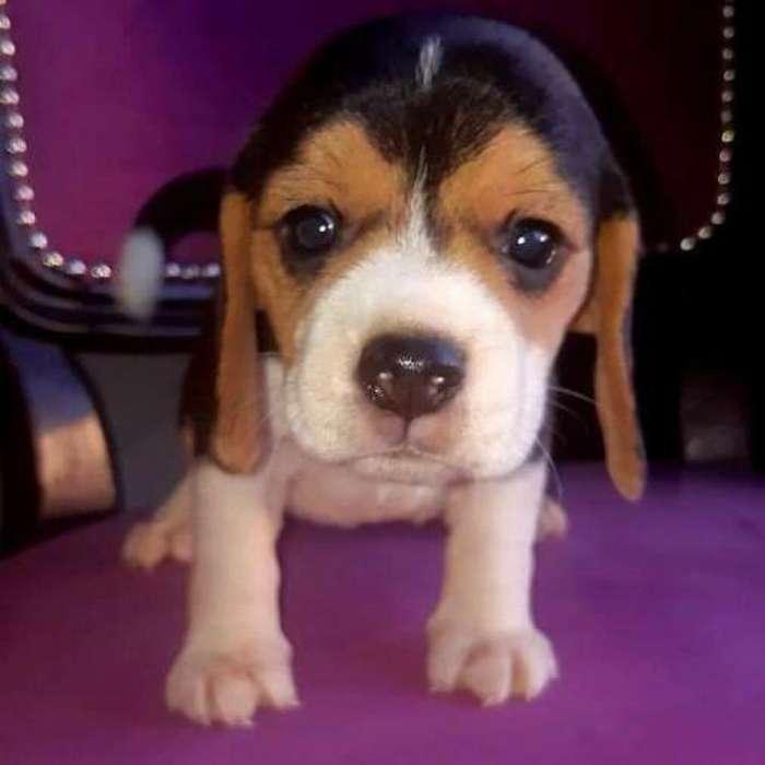 Bebes Hembras Machos <strong>beagle</strong>s