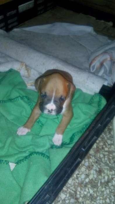 Perro <strong>boxer</strong> tienen casi un mes comen solitos me queda solo uno