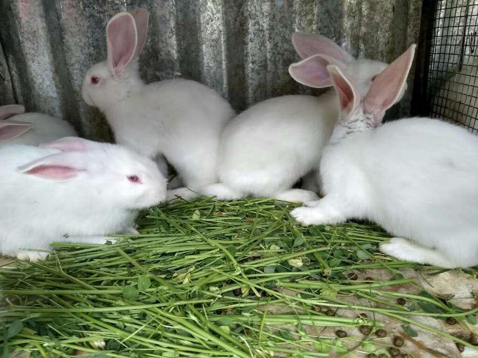 Flandex Conejos