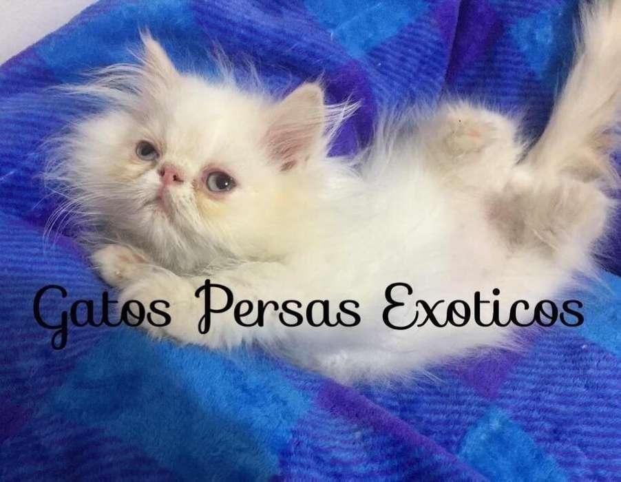 <strong>gato</strong>s Persas Puros Exoticos