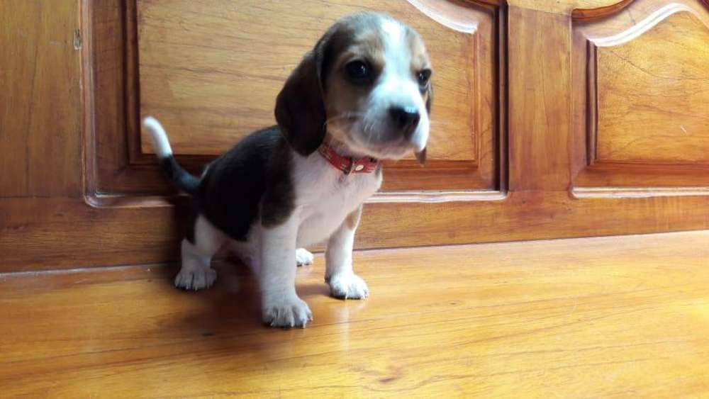 Hermoso cachorro beagle macho