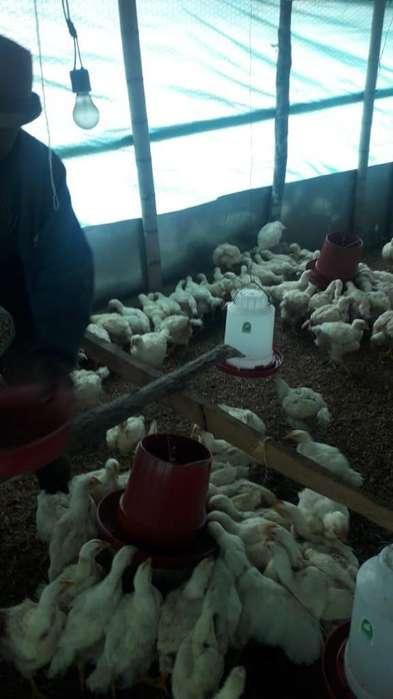Vendo 200 <strong>pollos</strong> Criollos