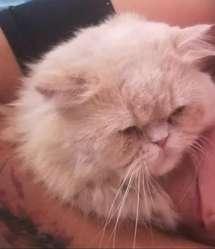 Gato Persa Macho sin Castrar
