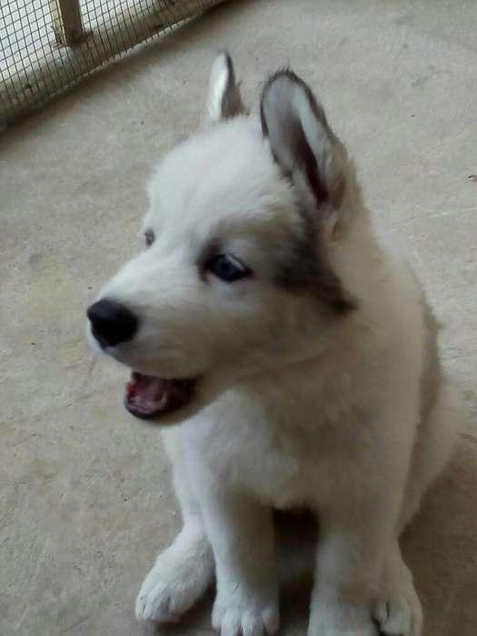 Cachorrito Siberiano Ojos Azules Machito