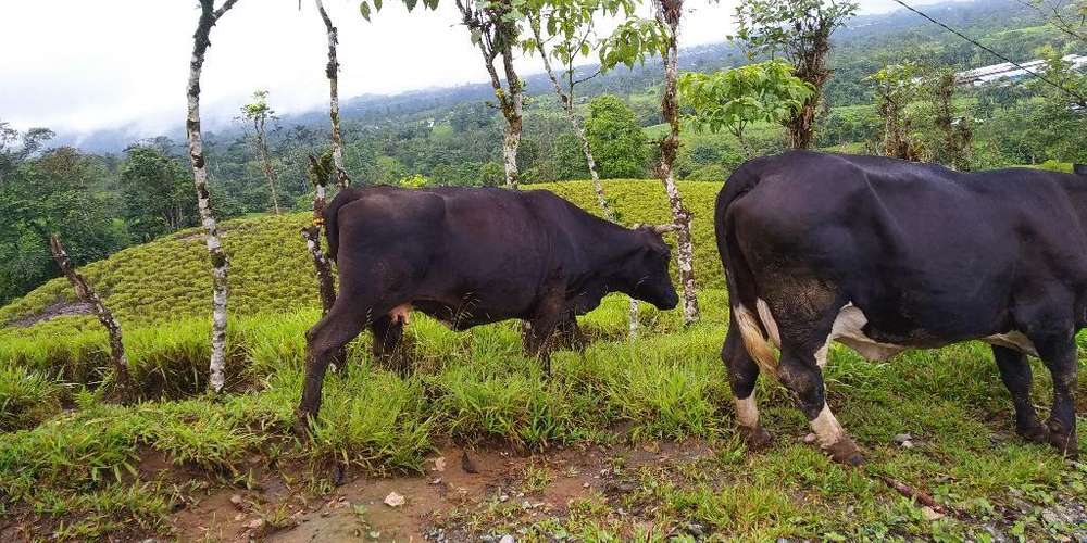 <strong>vaca</strong> Preñada