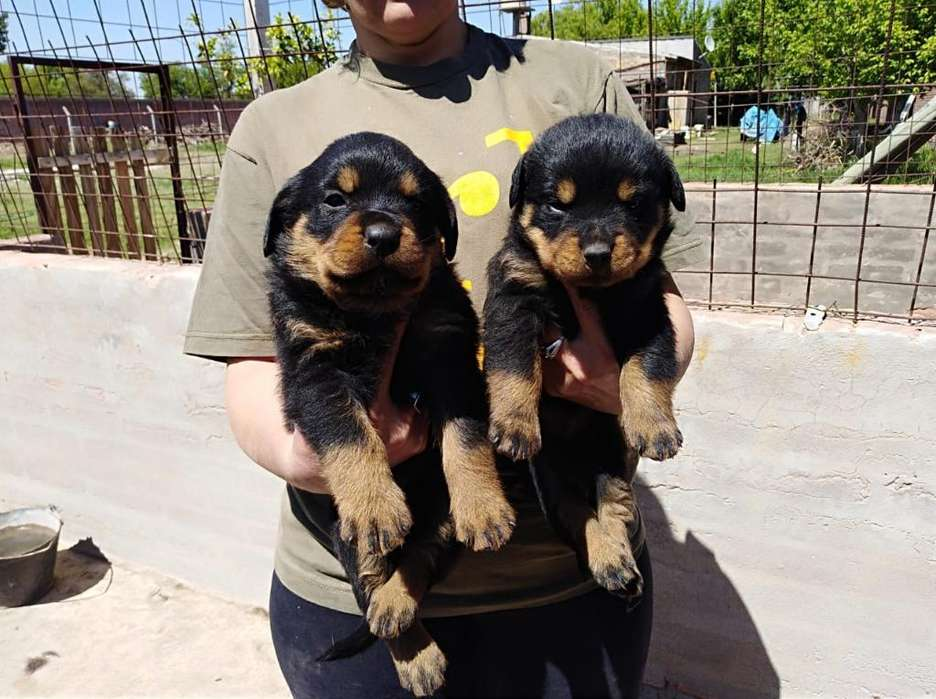 Ultimos Rottweillers