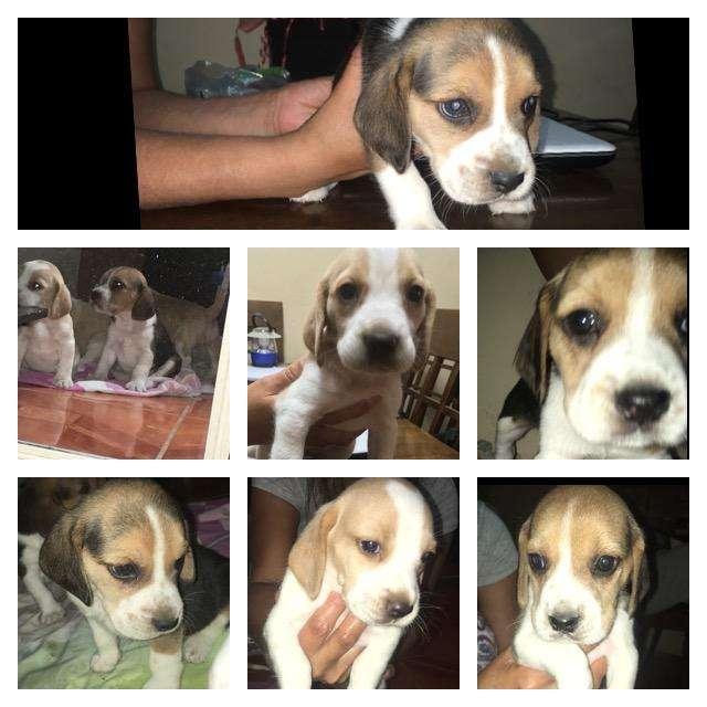 Cachorros Beagles Bicolor Y Tricolor