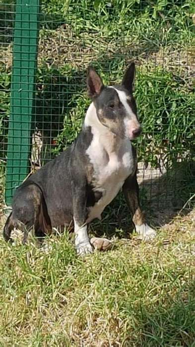 Se vende hermosa bull terrier