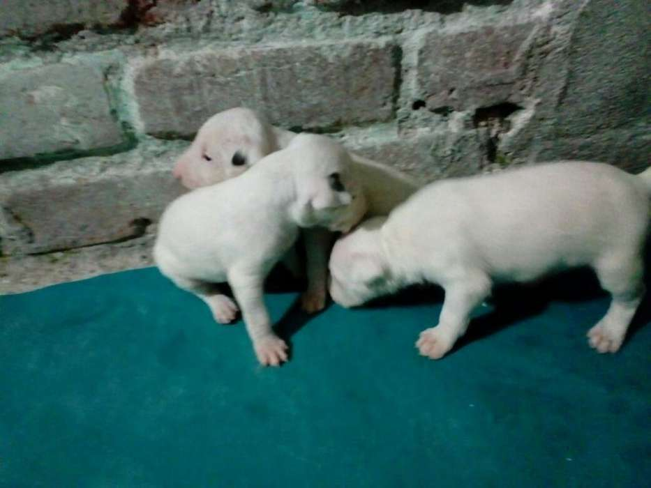 Cachorros Bull <strong>terrier</strong> Machos Disponible