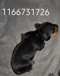 Se Vende Perro Salchicha  Macho Mini