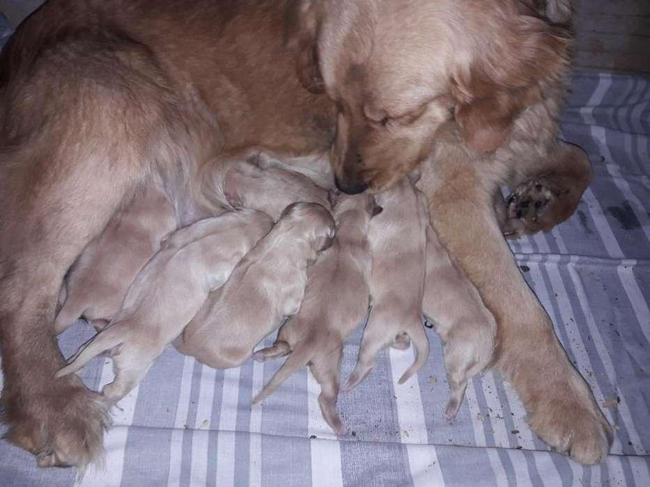 Cachorras Hembras Golden Disponibles