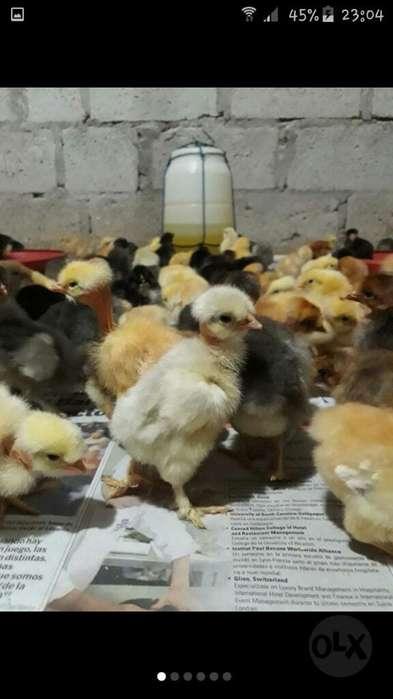 Pollos Pollitos Criollos