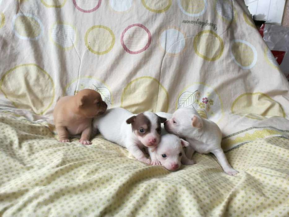 Hermosos Cachorros <strong>chihuahua</strong>