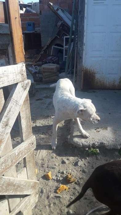 Regalo Un Dogo Y Una <strong>perra</strong> Pitbul