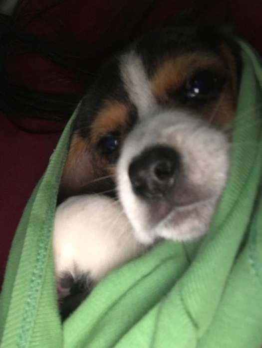 Vendo Beagle 700