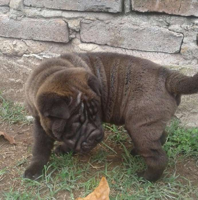SHAR PEI MACHITOS