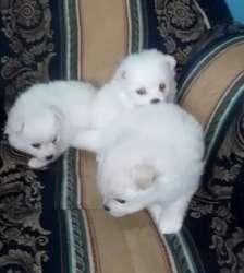 Labrador y Golden Retriever, Lobo Siberiano, Westy, Pomerania RAZA PURA DESDE