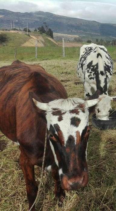 Vaca para Hoy