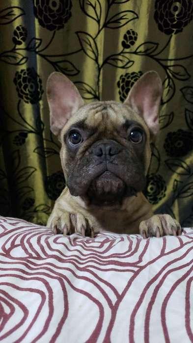 <strong>bulldog</strong> Frances Macho para Monta