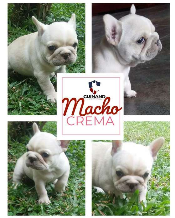 Bulldog Frances Macho Crema