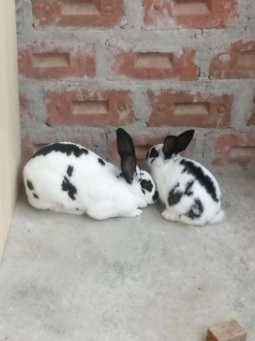 Venta de Conejos Mariposa