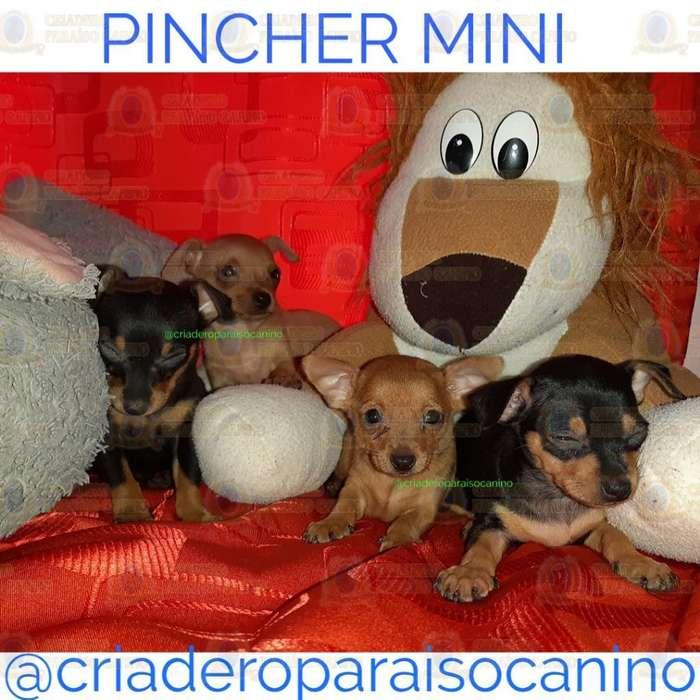 Cachorritos Pincher Mini