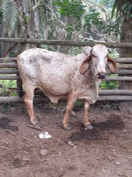 Se Vende Hermosa Vaca Girolhando Preñadi