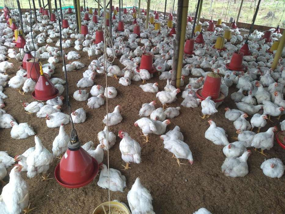 Venta de <strong>pollos</strong> de Contado