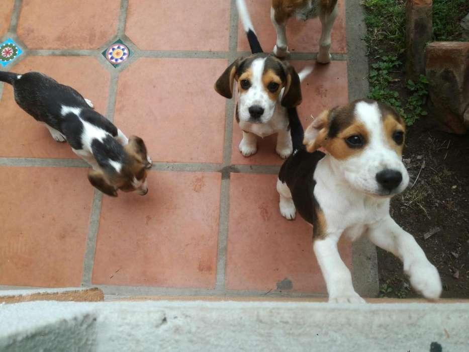Cachorro Beagle macho 3 meses