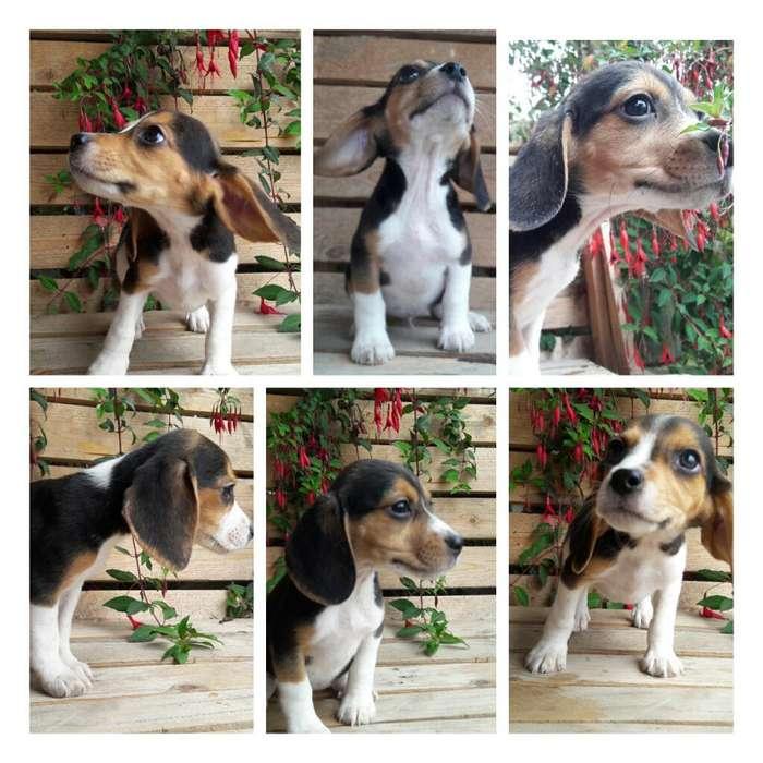 Beagle Hembras 2 Meses. Miniatura. Quito
