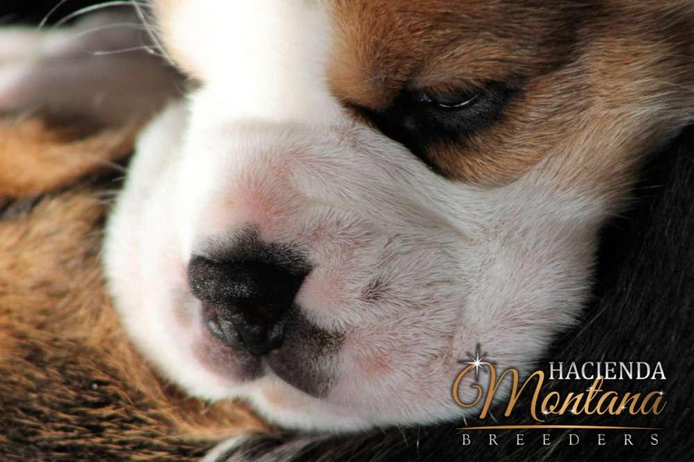 CACHORROS <strong>beagle</strong> TRICOLOR EN VILLAVICENCIO