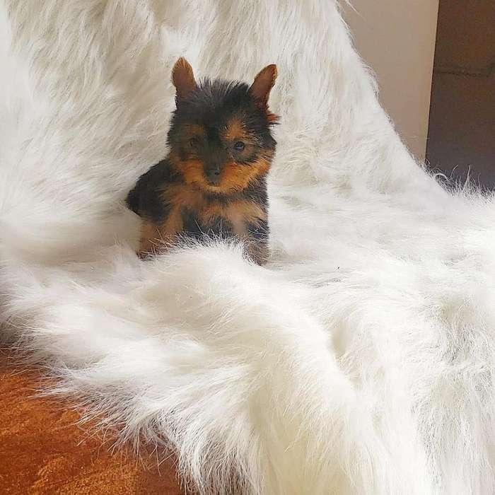 Yorkshire Terrier Macho Super Mini