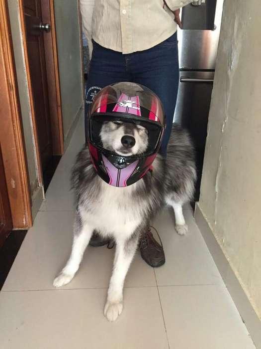 <strong>perro</strong> Lobo Busca Novia
