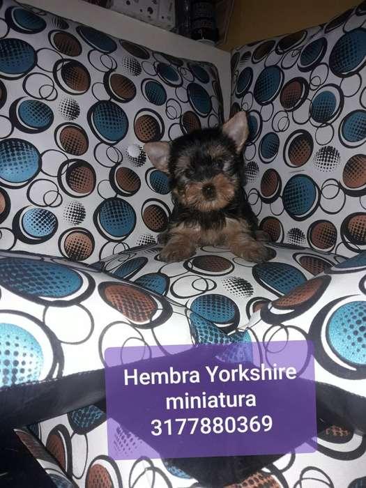 Hembra Yorkshire Mini