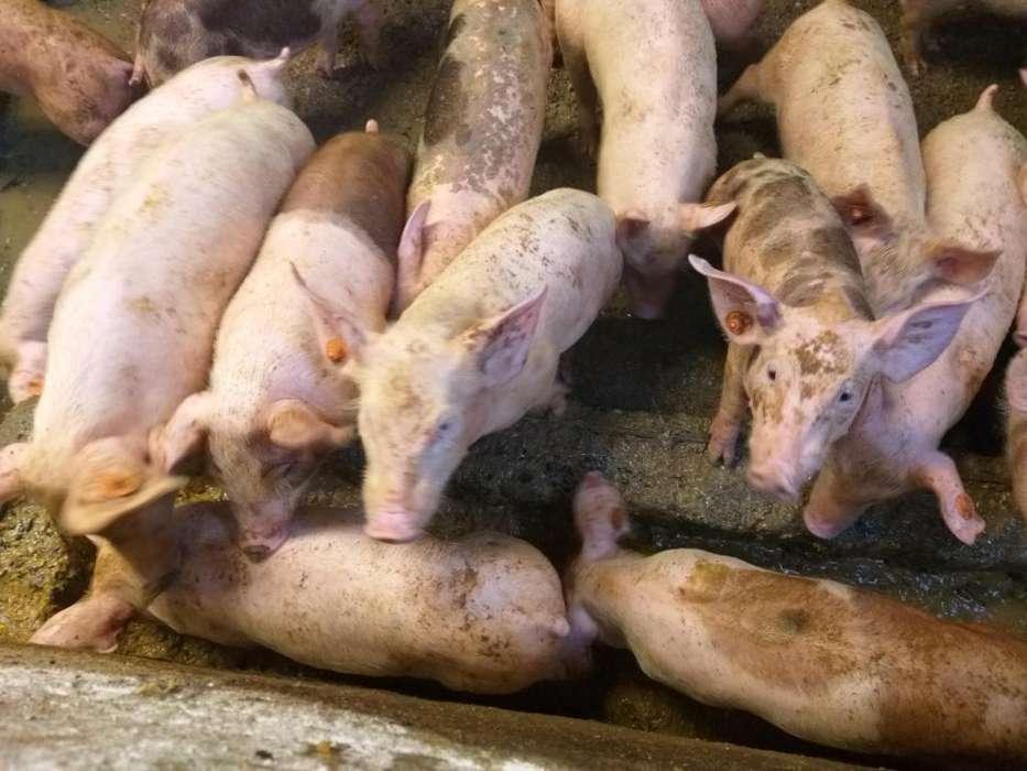 se venden <strong>cerdo</strong>s lechones hermosos