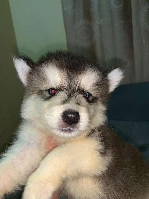 husky perro <strong>cachorro</strong>
