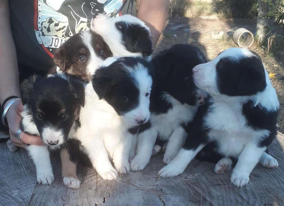Cahorros Border Collie Disponibles
