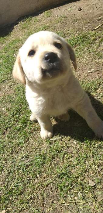 Vendo Ultimo Cachorro Labrador