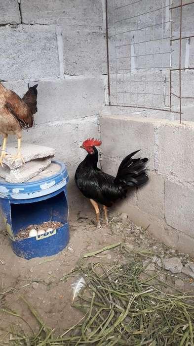Pollos Y <strong>gallo</strong>s Bonitos