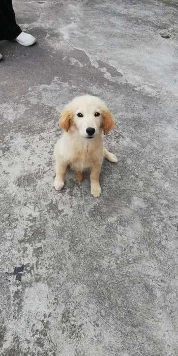 Cachorrita Cream Retriever (hembra)
