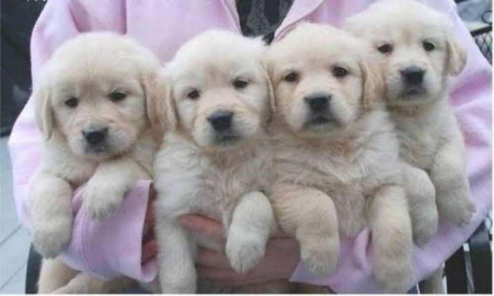 Cachorro Golden Retriever Blanco Camada