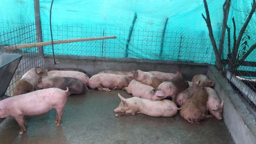 Cerdos en Ventas